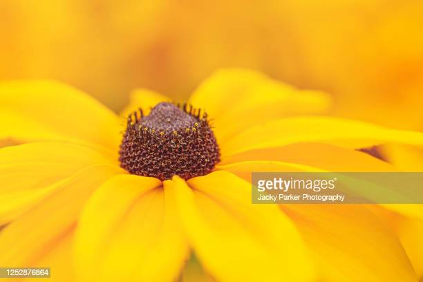close-up image of a yellow rudbeckia hirta summer flower also known as a coneflower or black eyed susan - {{asset.href}} stock pictures, royalty-free photos & images