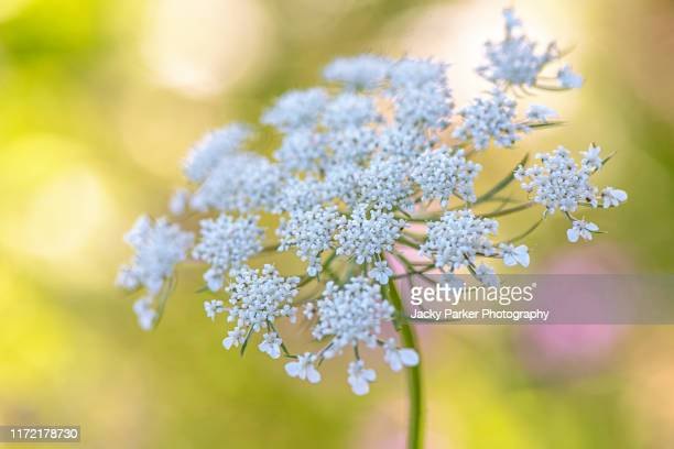 close-up image of ammi majus white flower, commonly called bishop's weed, false bishop's weed, bullwort, greater ammi, lady's lace, false queen anne's lace, or laceflower - yarrow stock pictures, royalty-free photos & images