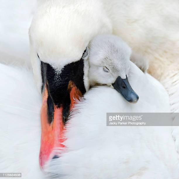 close-up image of an adult mute swan with a cute newly hatched cygnet cuddling up asleep - animal stock pictures, royalty-free photos & images