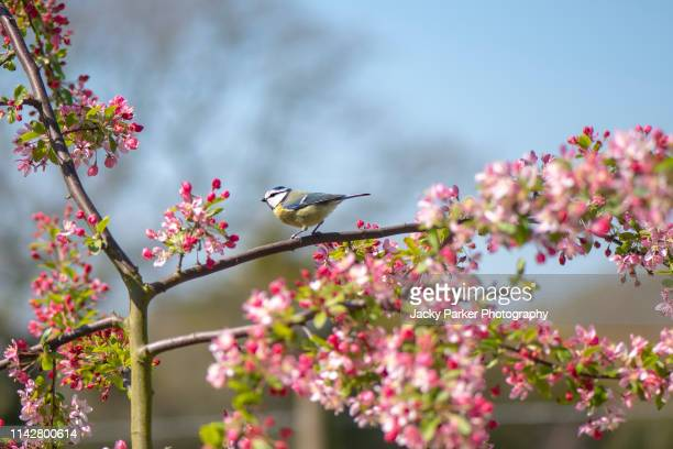 close-up image of an eurasian blue tit on the branch of malus 'floribunda' crab apple blossom against a blue sky - crab apple tree stock pictures, royalty-free photos & images