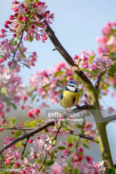 close-up image of an eurasian blue tit on the branch of malus 'floribunda' crab apple blossom against a blue sky - bluetit stock photos and pictures