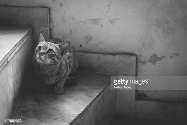 closeup image of an indian cat - monochrome - neha gupta stock pictures, royalty-free photos & images