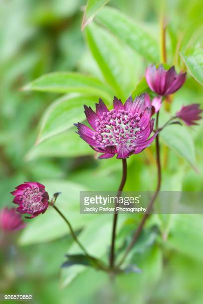 Close-up image of Astrantia major 'Claret' red flowers, also known as Masterwort.