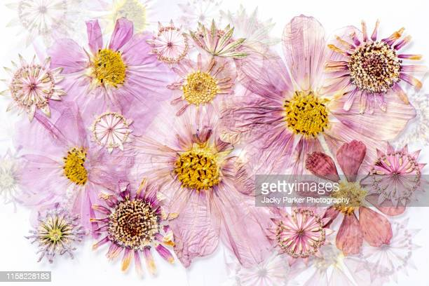 close-up image of beautiful pressed, dried flower heads arranged in a floral display or pattern - dried plant stock pictures, royalty-free photos & images