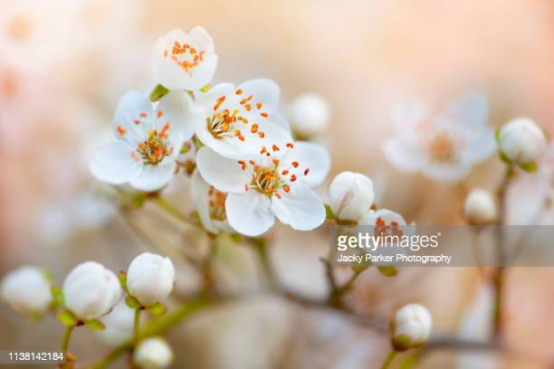 close-up image of beautiful, spring flowering white blossom flowers against a soft background - cherry blossom stock pictures, royalty-free photos & images