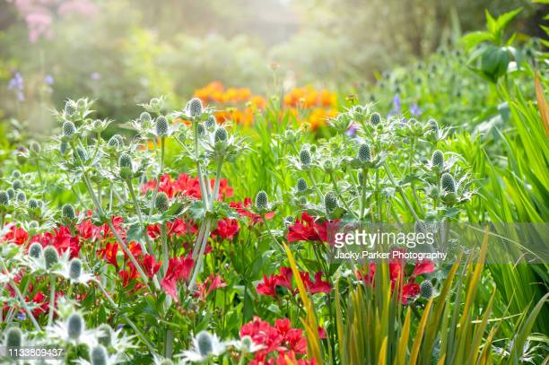 close-up image of beautiful summer flowering blue eryngium flowers also known as sea holly, and red peruvian lilies  in the summer sunshine - alstroemeria stock pictures, royalty-free photos & images