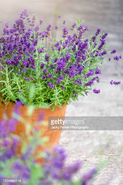 close-up image of beautiful summer flowering, lavender, purple flowers in terracotta pots - plant pot stock pictures, royalty-free photos & images