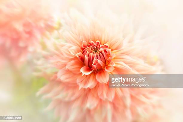 close-up image of beautiful summer flowering peach coloured dahlia flowers in the soft sunshine - peach flower stockfoto's en -beelden