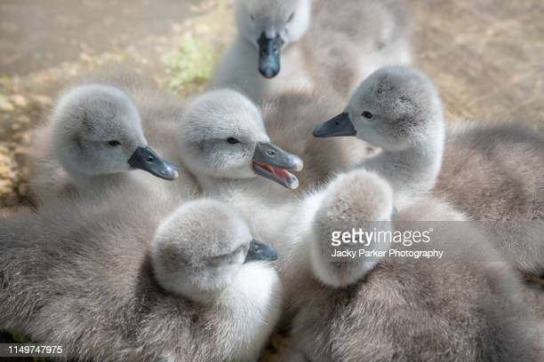 close-up image of cute, cuddly, newly hatched mute swan cygnets - cygnus olor in the spring sunshine - ugly duckling stock photos and pictures