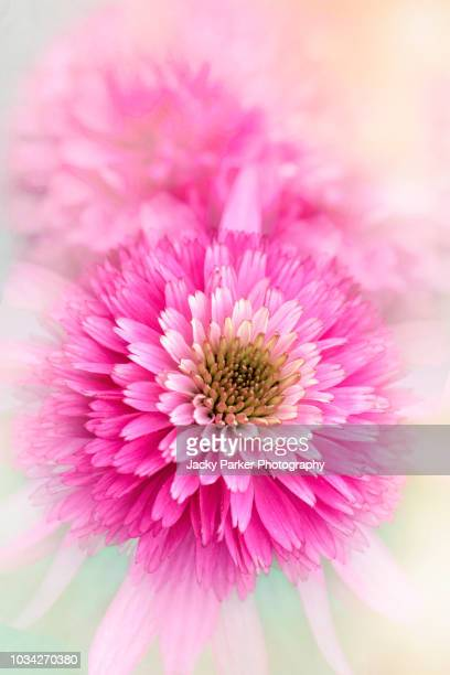 close-up image of echinacea purpurea ' pink sorbet' summer flowers against a soft hazy background - femininity stock pictures, royalty-free photos & images