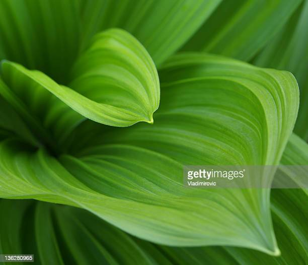 closeup image of green leaves growing from the center bud - lush foliage stock pictures, royalty-free photos & images