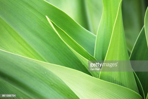 close-up image of green young leaves of a tropical plant - chlorophyll stock pictures, royalty-free photos & images