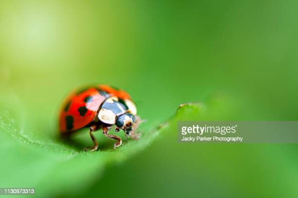 close-up image of harmonia axyridis, most commonly known as the harlequin, multicolored asian, or simply asian ladybeetle resting on a green leaf - harlequins stock pictures, royalty-free photos & images