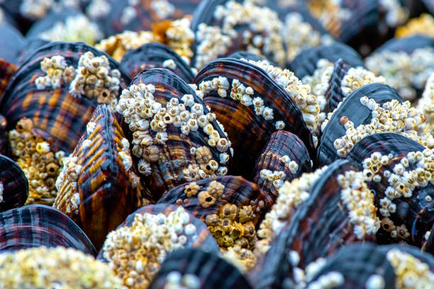 Close-up image of Mussels covered in barnacles on the coastline of Vancouver island