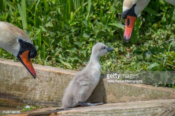 close-up image of mute swan parents - cygnus olor and newly hatched cygnets in the spring sunshine - ugly duckling stock photos and pictures