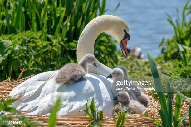 close-up image of mute swans - cygnus olor and newly hatched cygnets in the spring sunshine - springtime stock pictures, royalty-free photos & images