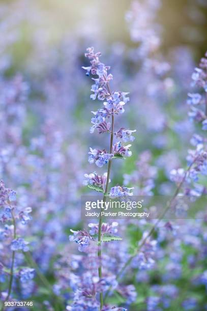 close-up image of nepeta racemosa 'walker's low' - catmint 'walker's low' blue flowers - catmint stock pictures, royalty-free photos & images