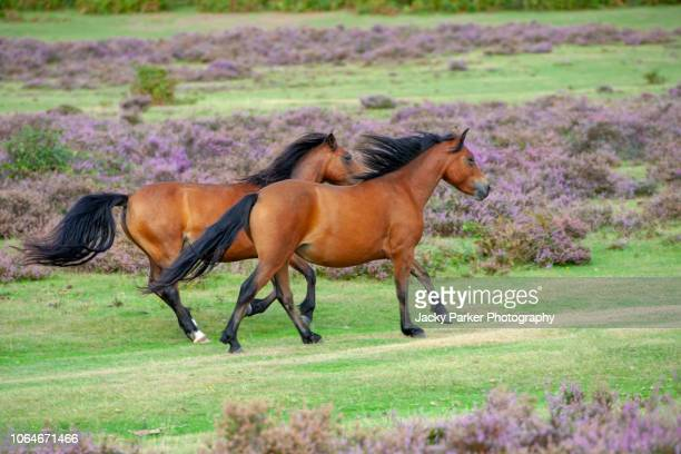 close-up image of new forest ponies running free in the new forest national park, hampshire, england, uk - pony stock pictures, royalty-free photos & images