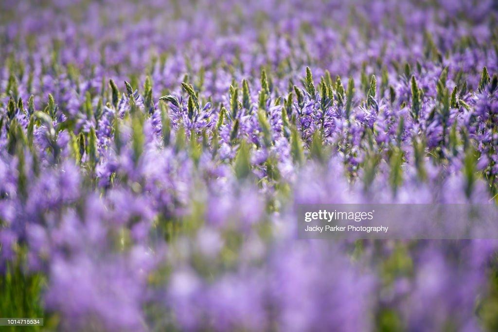 Closeup image of of the spring flowering purple camissia flowers in close up image of of the spring flowering purple camissia flowers in hazy sunshine mightylinksfo