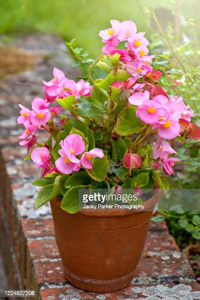 close-up image of pink begonia semperflorens summer flowers in a terracotta garden pot - begonia stock pictures, royalty-free photos & images