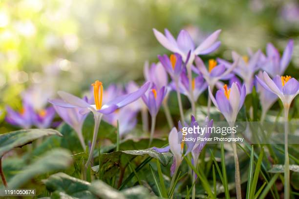 close-up image of pretty little spring flowering, purple crocus flowers - magnoliophyta foto e immagini stock
