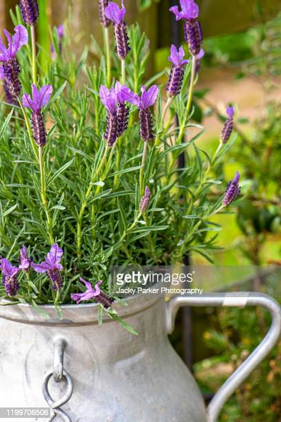 close-up image of pretty, scented lavender flowers planted in a french, aluminium milk churn - pot plant stock pictures, royalty-free photos & images