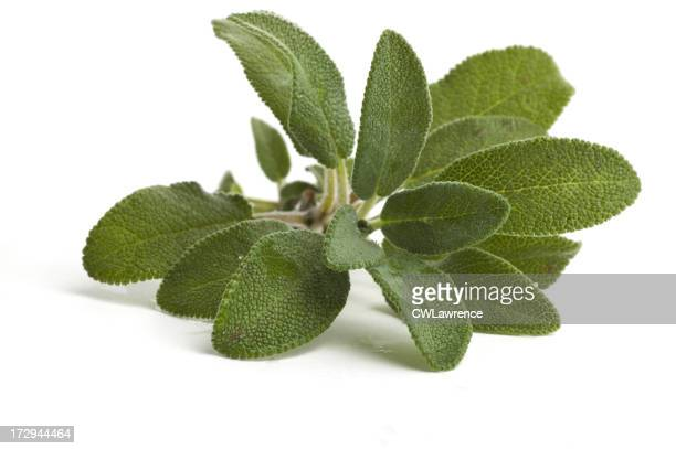 Closeup image of sage leaves on a white background