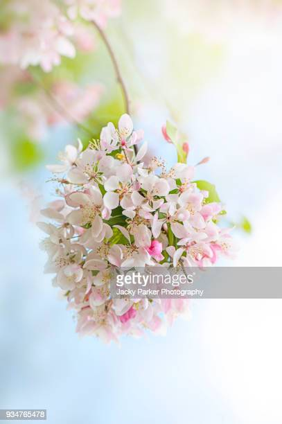 close-up image of spring flowering crab apple blossom pink and white flowers - apple blossom tree stock pictures, royalty-free photos & images