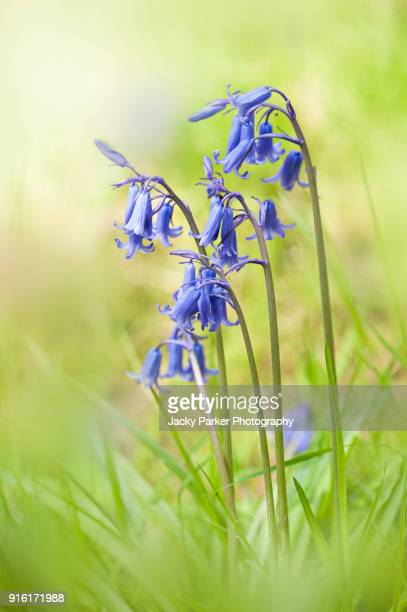 close-up image of spring flowering english bluebells in the sunshine - bluebell stock pictures, royalty-free photos & images