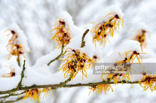 Close-up image of spring flowering Hamamelis - Witch hazel yellow flowers covered in snow