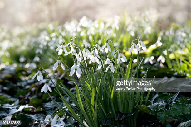 close-up image of spring flowering white snowdrop flowers also known as galanthus nivalis, back lit in the sunshine - snowdrop stock pictures, royalty-free photos & images
