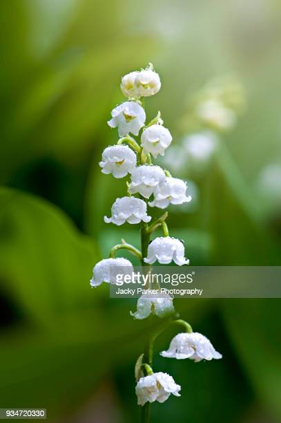 close-up image of spring lily of the valley white, bell-shaped flowers with raindrops also known as convallaria majalis - lily of the valley stock pictures, royalty-free photos & images