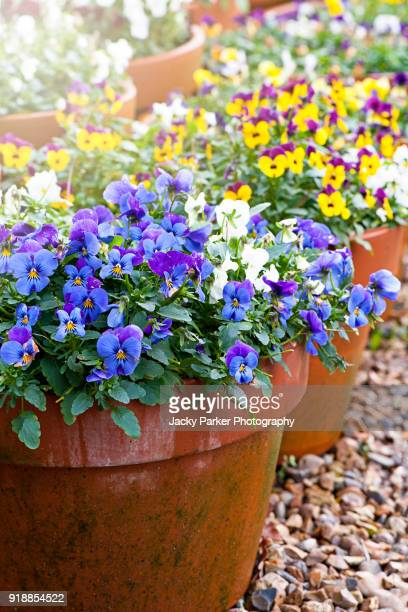close-up image of spring violas and pansies in terracotta flowerpots - pansy stock pictures, royalty-free photos & images
