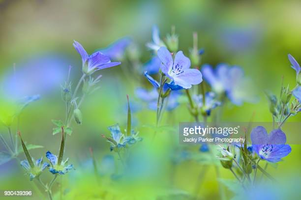 close-up image of summer flowering, blue geranium flowers also known as the crane's-bill - midsommarblomster bildbanksfoton och bilder