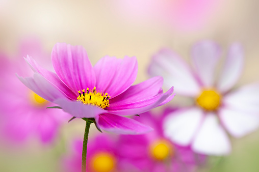 Close-up image of summer, vibrant Cosmos flowers in a sunny garden border, taken against a soft bright background - gettyimageskorea