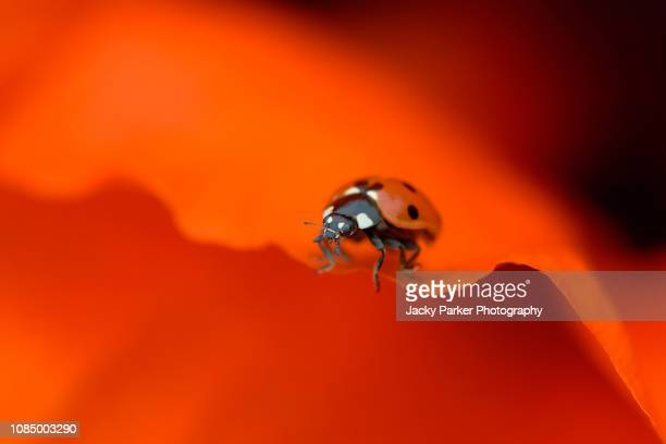 close-up image of the 7-spot ladybird insect - coccinella septempunctata resting on a vibrant red poppy petal - soltanto un animale foto e immagini stock