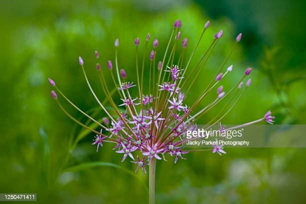 close-up image of the beautiful allium 'schubertii' purple summer flowers - allium flower stock pictures, royalty-free photos & images