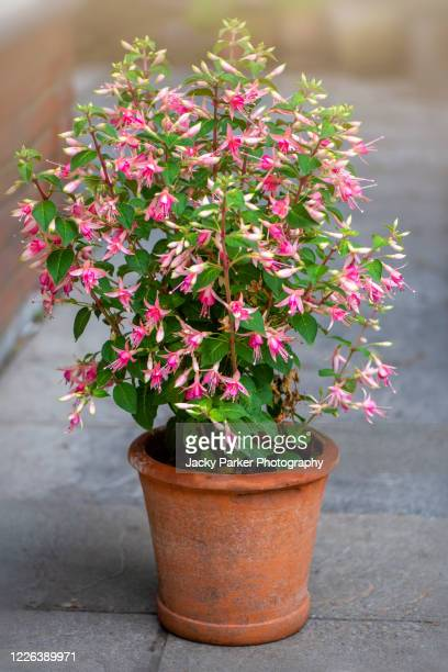 close-up image of the beautiful and dainty pink flowers of the summer flowering fuchsia in a terracotta flower pot - plant pot stock pictures, royalty-free photos & images