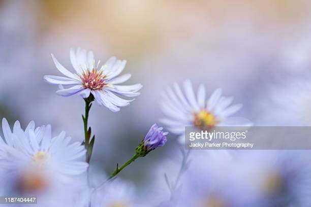 close-up image of the beautiful autumn flowering purple aster amellus, the european michaelmas-daisy flower - soft focus stock pictures, royalty-free photos & images