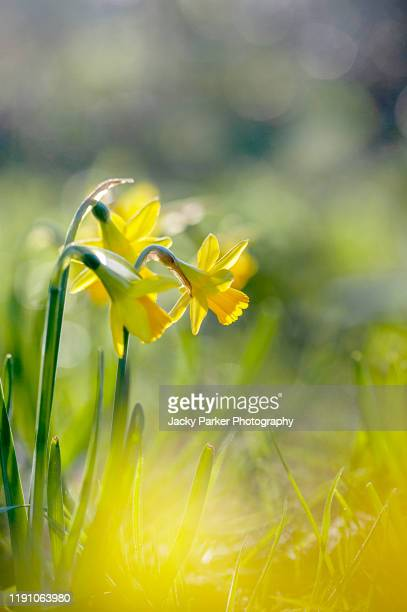 close-up image of the beautiful, backlit, yellow daffodil flowers also known as narcissus - daffodils stock pictures, royalty-free photos & images
