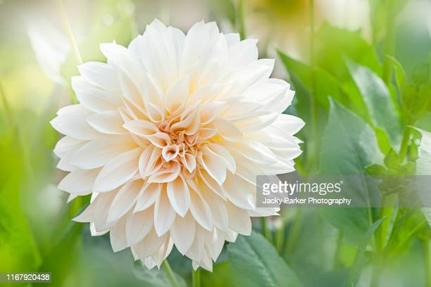 close-up image of the beautiful late summer flowering cream blush 'decorative' dahlia 'cafe au lait' flower in soft sunshine - pale pink stock pictures, royalty-free photos & images