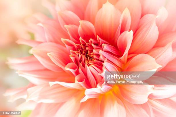 close-up image of the beautiful late summer flowering orange/peach coloured 'decorative' dahlia 'fairwary spur' flower in soft sunshine - peach flower stock pictures, royalty-free photos & images