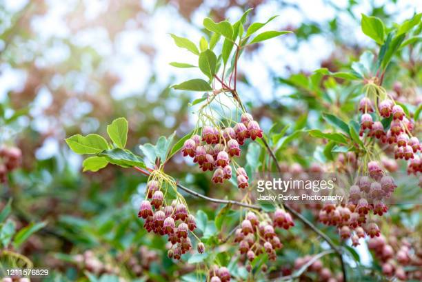 close-up image of the beautiful pieris japonica 'valley rose', japanese pieris 'valley rose', andromeda 'valley rose', lily-of-the-valley shrub 'valley rose' - evergreen plant stock pictures, royalty-free photos & images