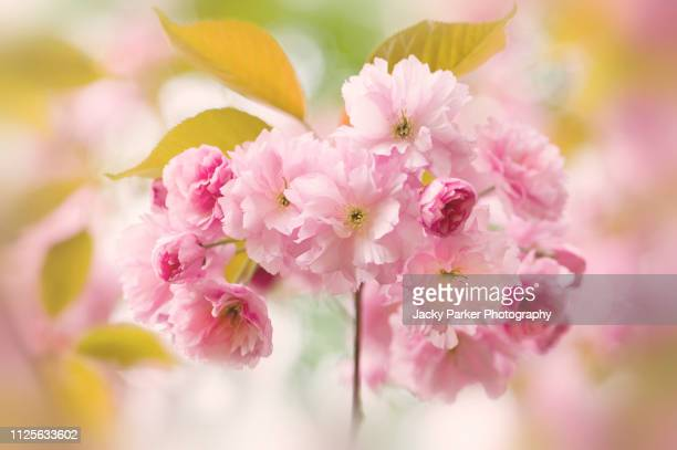 Close-up image of the beautiful, pink, spring blossom flowers of Prunus 'Kanzan' a Japanese flowering Cherry tree