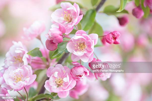 close-up image of the beautiful pink, spring blossom of malus 'snowcloud' a spring flowering crab apple tree - bloesem stockfoto's en -beelden