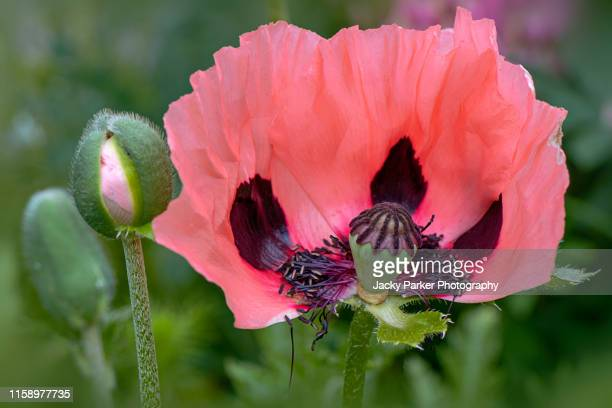 close-up image of the beautiful poppy - oriental 'princess victoria louise' with flower bud opening - oriental poppy stock pictures, royalty-free photos & images