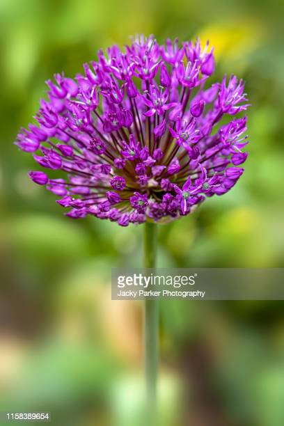 close-up image of the beautiful spring flowering, allium 'purple sensation' round flower heads in the spring sunshine - allium flower stock pictures, royalty-free photos & images