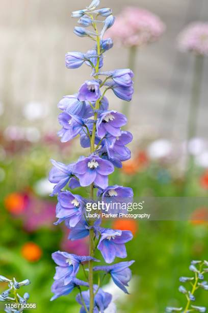 close-up image of the beautiful spring flowering, blue delphinium flowers against a soft background - delphinium stock pictures, royalty-free photos & images