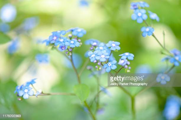 close-up image of the beautiful spring flowering, blue forget-me-not flowers also known as myosotis sylvatica - forget me not stock pictures, royalty-free photos & images