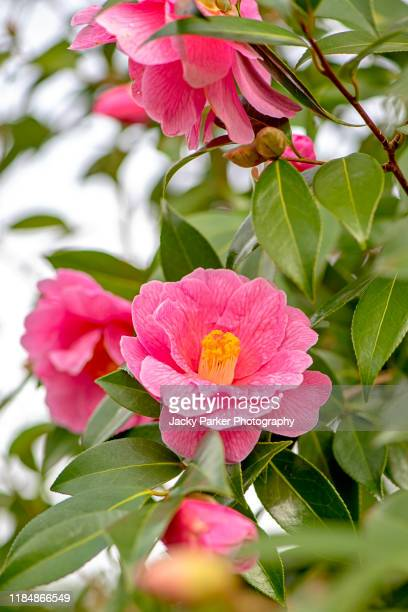 close-up image of the beautiful spring flowering camellia shrub pink flower - pink stock pictures, royalty-free photos & images